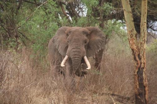 Big Elephant with Tusks